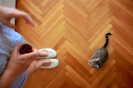 Top view of domestic striped cat cat looks up and female legs in white slippers on background of parquet floor at home. Feeding pet concept
