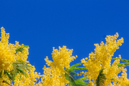 Yellow mimosa blooming tree on background of blue sky. Spring blossom minimal concept Zdjęcie Seryjne