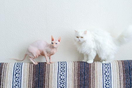 Two cats at home love or hate. White persian furry cat and Hairless cat Don Sphynx breed with pink naked skin. Frenemis domestic pets concept Stock Photo