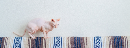 Hairless cat Don Sphynx breed with pink naked skin at home