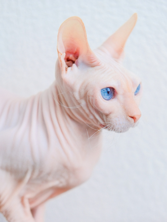 Hairless cat Don Sphynx breed with pink naked skin and blue eyes at home
