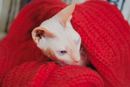 Hairless cat Don Sphynx breed with pink naked skin warms up in red knitted sweater. Stock Photo