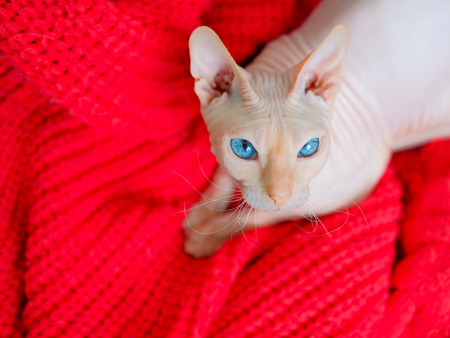 Hairless cat Don Sphynx breed with pink naked skin and blue eyes warms up in red knitted sweater Stock Photo