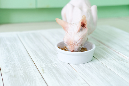 Hairless cat Don Sphynx breed with pink naked skin eats dry cat's food from a bowl on wooden white floor.