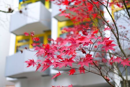 Red autumn maple leaves. Beautiful urban background of Fall season Banque d'images - 129471996