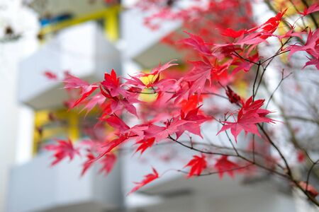 Red autumn maple leaves. Beautiful urban background of Fall season Banque d'images - 129471997