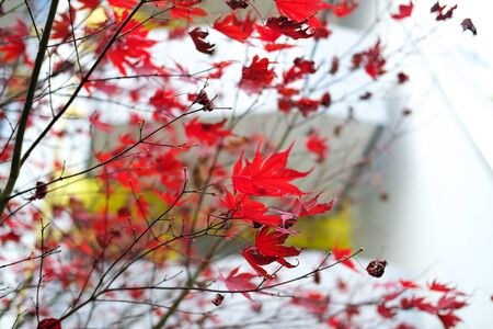 Red autumn maple leaves. Beautiful urban background of Fall season Banque d'images - 129472021
