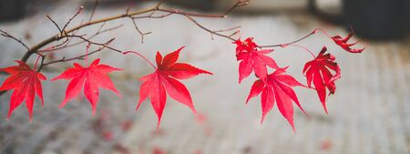 Red autumn maple leaves. Beautiful urban background of Fall season Banque d'images - 129472023