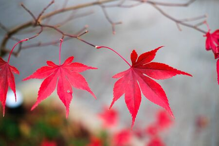 Red autumn maple leaves. Beautiful urban background of Fall season Banque d'images - 129472024