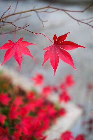 Red autumn maple leaves. Beautiful urban background of Fall season Archivio Fotografico - 129472025