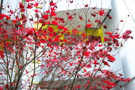 Red autumn maple leaves. Beautiful urban background of Fall season. Banque d'images - 129472037