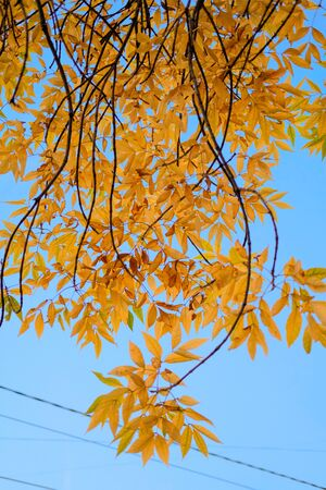 Autumn Yellow branches on background of blue sky. Beautiful nature background of Fall season. Banque d'images - 129472239