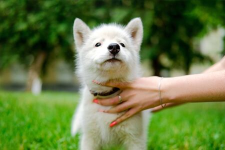 Little white puppy Husky 2 months old on the grass in park. Summer dog walking Stok Fotoğraf