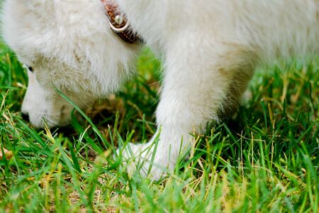 Little white puppy Husky 2 months old sniffs the grass in park. Summer dog walking