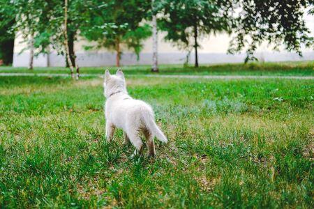 Little white puppy Husky 2 months old on the grass in park. Summer dog walking 版權商用圖片
