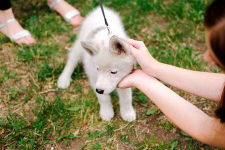 Little white puppy Husky 2 months old on the grass in park. Summer dog walking. Female stranger stroking a pet.