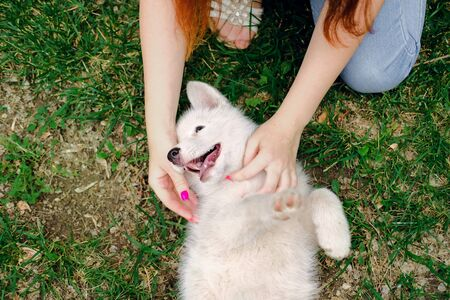 Little white puppy Husky 2 months old lying on the grass in park and biting female hands of owner. Summer dog walking