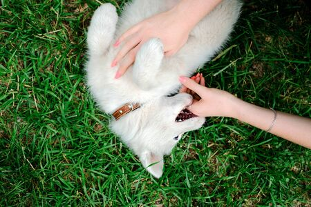 Little white puppy Husky 2 months old bites hand of female owner on the grass in park. Summer dog walking