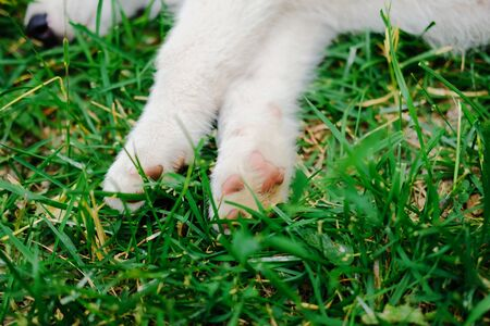 Little white puppy Husky 2 months old is lying tired on the grass in park. Close up paws. Summer dog walking 版權商用圖片