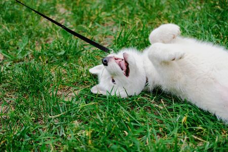 Little white puppy Husky 2 months old is lying tired with paws up on the grass in park. Summer dog walking