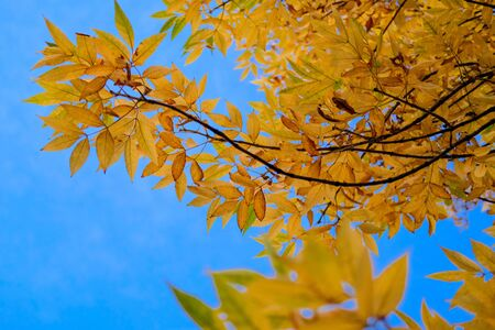 Autumn Yellow branches on background of blue sky. Beautiful nature background of Fall season. Banque d'images - 129472419