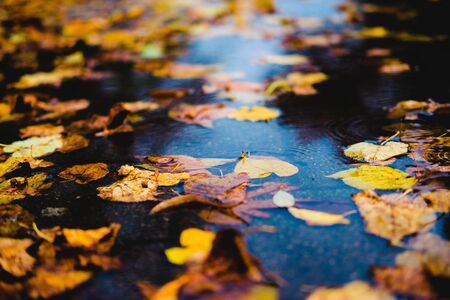yellow autumn leaves in a puddle on a gloomy rainy day. Beautiful nature background of Fall season. 版權商用圖片