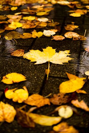 Maple yellow autumn leaves in a puddle on a gloomy rainy day. Beautiful nature background of Fall season.