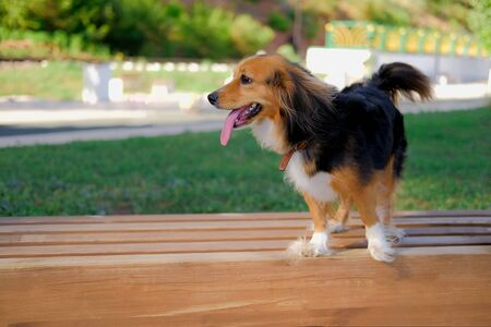 Funny spaniel mutt on a wooden bench in summer park. Dog walking outdoors. 版權商用圖片