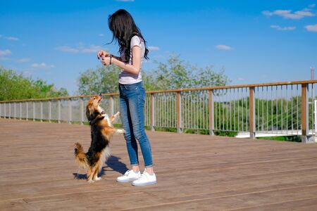 Brunette woman trains a dog to stand on hind paws, motivating food. Funny spaniel mutt in summer day. 版權商用圖片