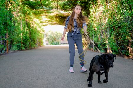 Young girl is walking with her dog pulling the leash on asphalt sidewalk. Strong black labrador and stafford terrier mix breed in green summer park
