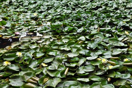 waterlilies: waterlilies in the pond Stock Photo