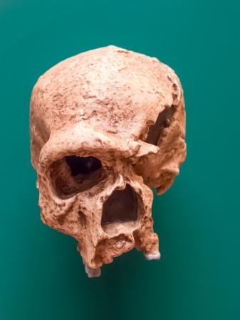homo erectus: Homo erectus skull