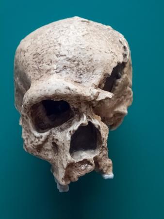 erectus: Homo erectus skull