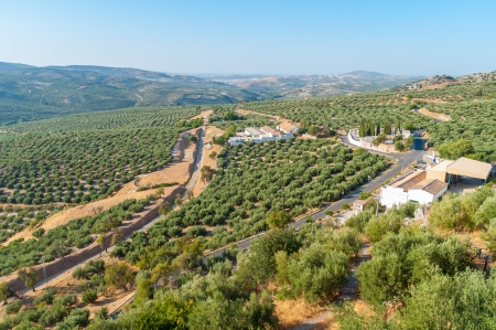 Olive groves of the Sierra Cordoba photo