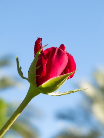Rosebud photo