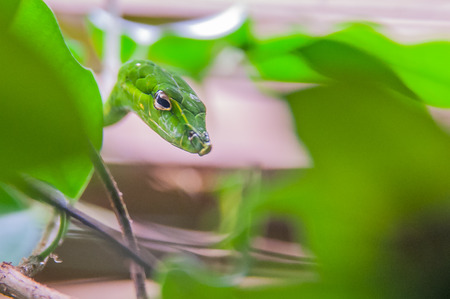 Small green vine snake, camouflaged Stock Photo