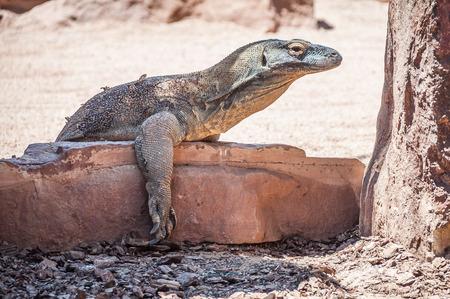 komodo: Komodo Dragon. Archivio Fotografico