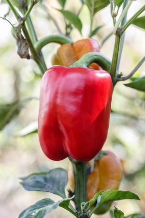 bush pepper: red pepper