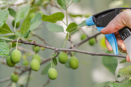plum tree spraying against pests.