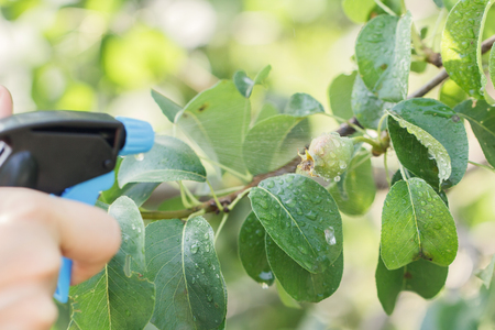 pear tree spraying against pests.