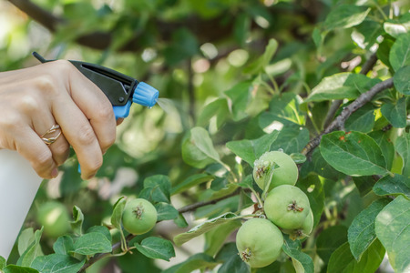 spraying: Spraying apple trees from pests.