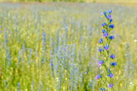 nectariferous Flower echium vulgare in a field.
