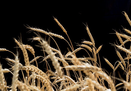 ears of wheat on a black background.