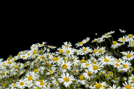 Wild daisies on a black background. Фото со стока
