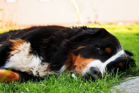 Sleepy dog on the green grass Stock Photo