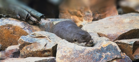 small clawed: Young small otter is sleeping on the stone in wild nature