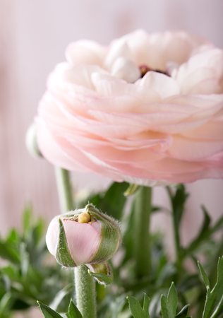 buttercup flower: Vertical photo of bud and big bloom of light pink buttercup flower. Green branches are visible too. White wooden board is in background. Stock Photo