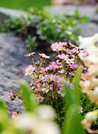 group of plants: Vertical photo with bunch of pink saxifrage flower with group of nice blooms which is placed on the rock. Stones and other plants are visible too.