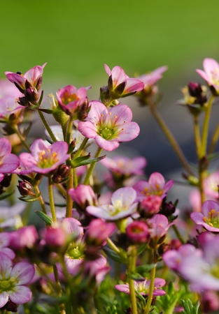 unpretentious: Vertical photo with several saxifrage blooms with one which is focused. Color of blooms is pink with green centers. Stock Photo