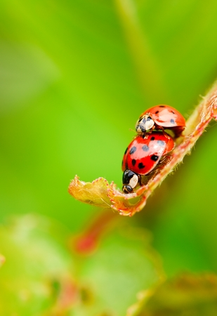 lovemaking: Vertical photo with pair of copulating ladybugs. Two ladybugs on fresh spring leaf. Two beetles with red color and black dots. Two bugs on light green background. Macro photo.